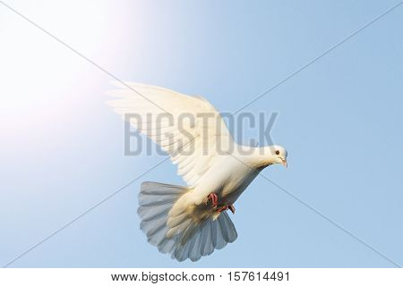 white dove flying in the blue sky with sunny hotspot, postal dove, symbol of peace