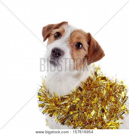 Portrait of a small doggie of breed a Jack Russell Terrier and Christmas tinsel