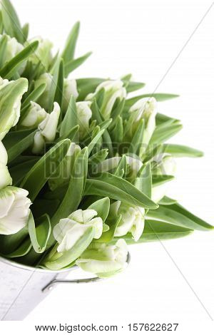 Beautiful bouquet of white tulips in a aluminum pail. Isolated