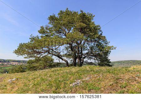 Trees In Bavarian Altmuhltal