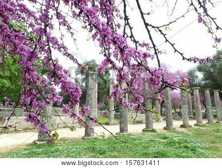 Olympia Archaeological Site with Beautiful Pink Blooming Flowers, Greece
