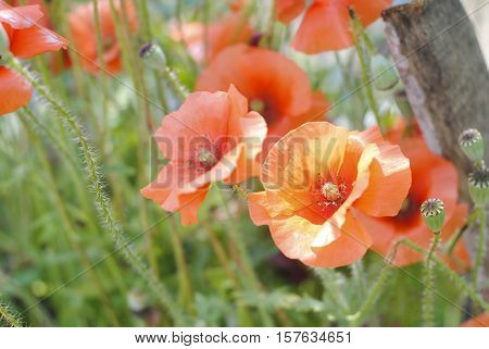 Few flowers played such an important role in religion, mythology, politics, and medicine as the Poppy. Often found growing along roadside ditches and other humble places, these flowers have enchanted poets and helped doctors treat their patients for centu