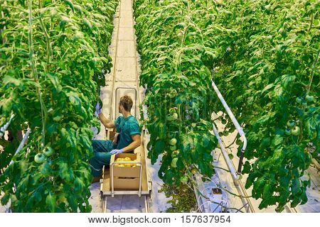 Young attractive man harvesting tomatoes in greenhouse