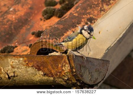 Blue TIt (Cyanistes Caeruleus) perched on rusty gutter poster