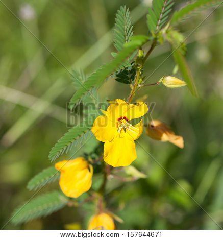 Partridge Pea Flower (Chamaecrista fasciculata) growing in a field