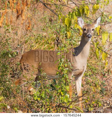 Female White-tailed Deer (Odocoileus virginianus) in a wildlife management area