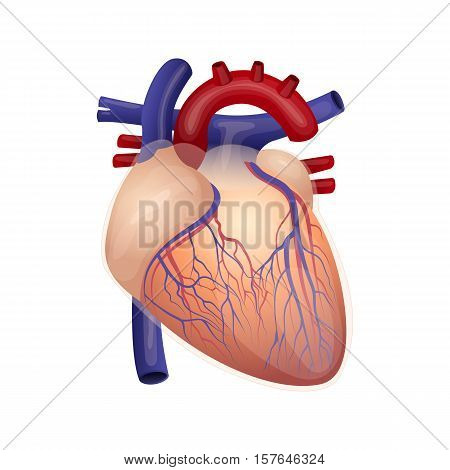 Illustration of the human's heart. Human's organ. The cardiovascular system. Human's healthcare. Vector icon.