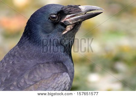 A close up a Carrion Crow with an open beak