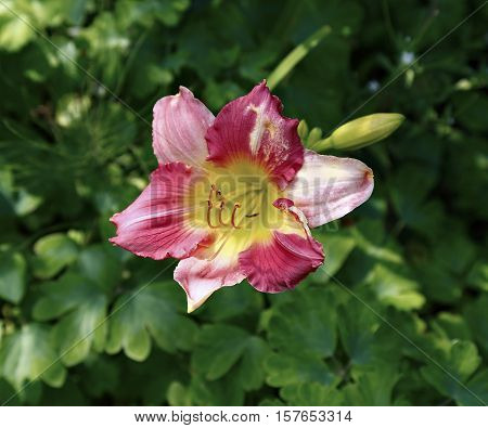 Beautiful daylily flower in the garden in summer