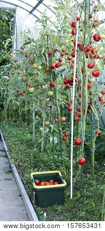 Red tomatoes in a greenhouse made of transparent polycarbonate