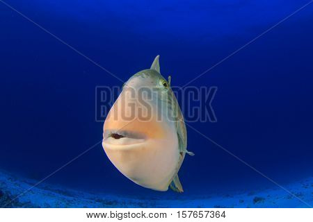 Triggerfish fish