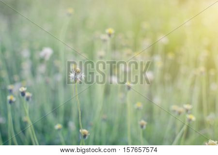 De-focus Grass Flower On The Meadow At Sunlight Nature Background Spring