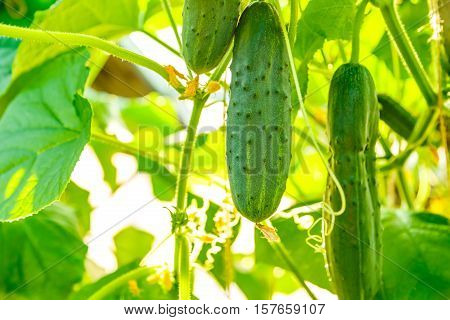 Fresh Ripe Cucumbers Growing In Greenhouse