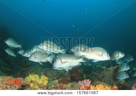 School Silver Sweetlips fish on coral reef