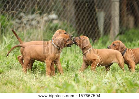 Amazing Puppies Of Rhodesian Ridgeback In The Garden