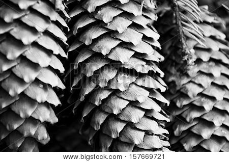 monochromatic macro photography of spruce cones with resin