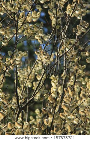 Salix - first blossom tree in early spring.