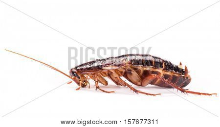 Cockroaches isolated on white background, macro photo.