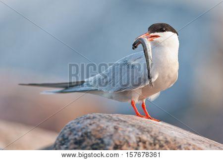 Bird with fish. The Common Tern (Sterna hirundo) is a seabird of the tern family Sternidae.