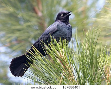 A Brewer's Blackbird sings from the tree top
