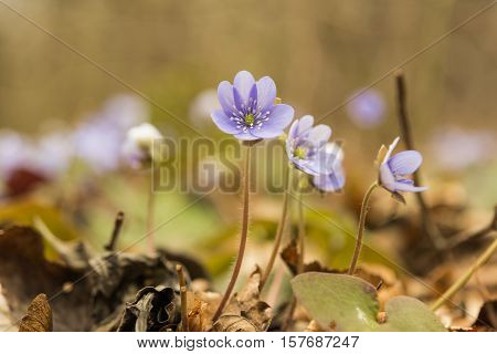 blooming in the spring forest Hepatica nobilis