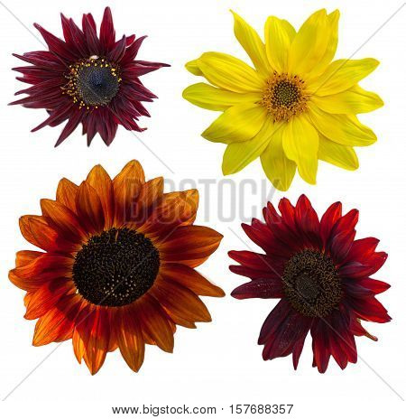 Close up of beautiful unusual red and yellow  sunflower, helianthus, on white background, isolated