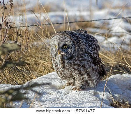 A Great Gray Owl holds a vole after a successful snow dive in an Alberta forest.