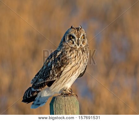 A Short-eared Owl perches on a post to take a short break from hunting over the Alberta prairie.