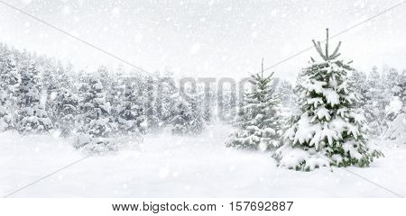 Outdoor panorama shot of two young fir trees in thick snow at the edge of a forest for the perfect Christmas mood