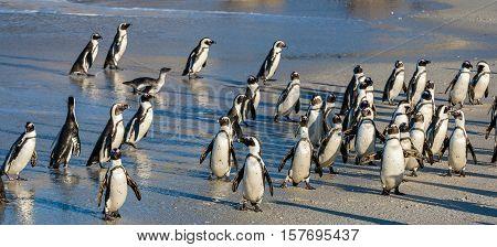 African Penguins Walk Out Of The Ocean On The Sandy Beach. African Penguin ( Spheniscus Demersus) Al