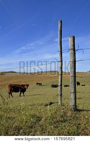 Beef cattle graze in a fenced pasture with a harvested corn field in the background
