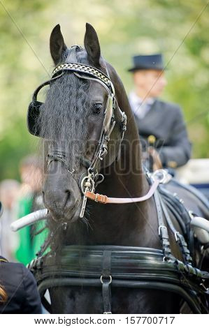 friesian horse carriage driving harness outdoor in summer poster