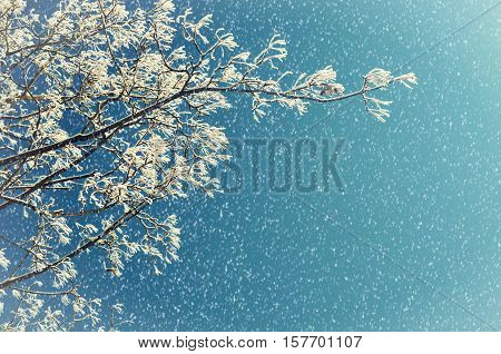 Winter nature in snowfall. Winter frosty tree branches of the winter tree against winter sky. Winter background with free space for text. Winter nature scene. Closeup of winter tree branch in snowfall
