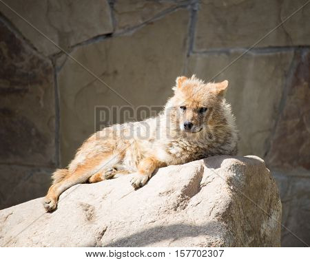 Jackal lying on the stone in the summer