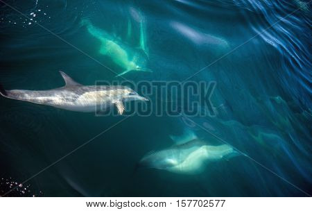 Dolphins, Swimming In The Ocean And Hunting For Fish. The Long-beaked Common Dolphin (scientific Nam