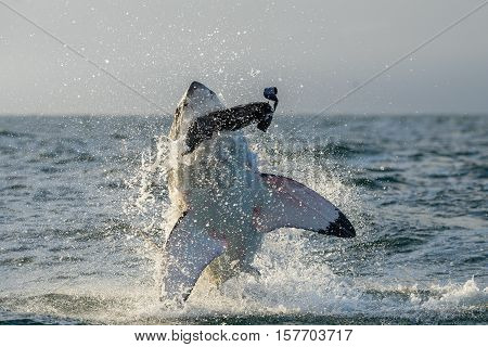 Great White Shark (carcharodon Carcharias) Breaching In An Attack. Hunting Of A Great White Shark (c