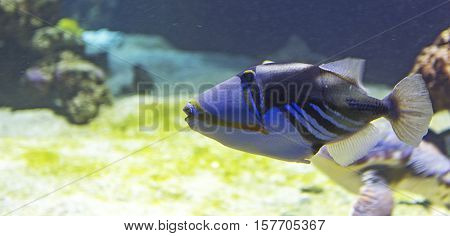 fish Picasso Triggerfish close topicture in sea