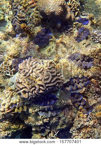 Group of Giant Clams Tridacna maxima in the sea