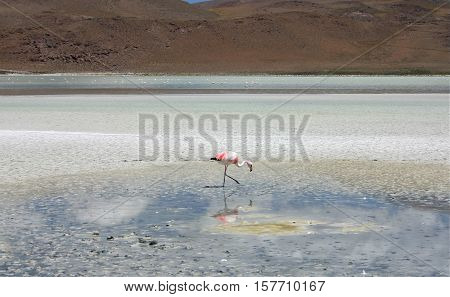flamingo near Salar de Uyuni in bolivia