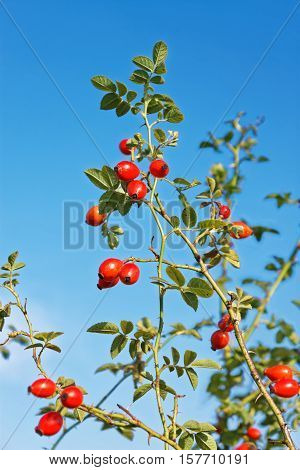 Red Rosehip Fruits Hanging On The Twigs