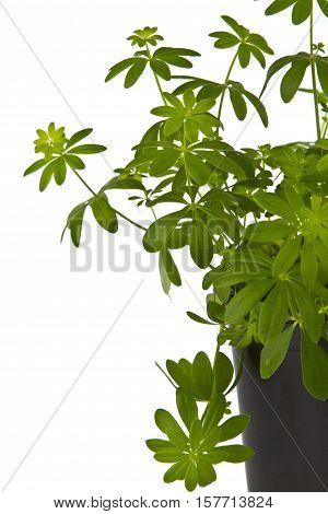 Fresh Woodruff Herbs on bright background. Shot in Studio