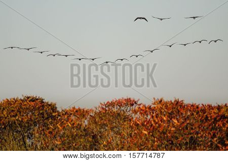 Canada Geese Flying Over the Autumn Countryside