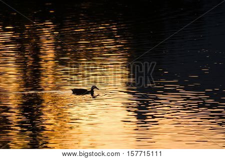 Silhouette of Duck Swimming in a Golden Pond as the Sun Sets