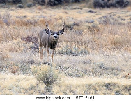 Large mule deer buck in the wilderness.
