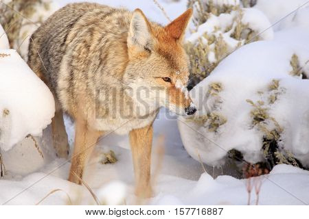 Coyote prowling through the snow in Yellowstone National Park.