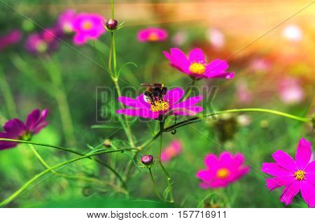 insect bumble bee pollinates a beautiful flower at sunset