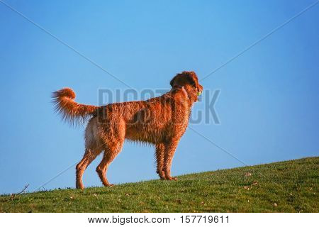 a dog running up a hill with a tennis ball in a park enjoying the outdoors on a beautiful summer day