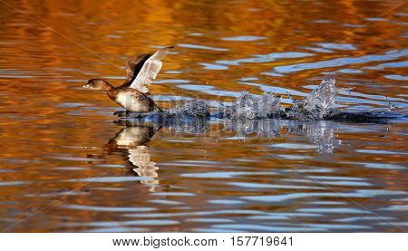 a pied billed grebe running across the water in a pond at a local wildlife park during fall season with autumnal colors reflecting in the water