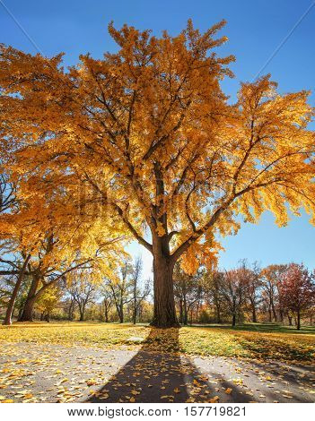 a large orange tree full of leaves ready to fall on a bright autumn day in a local public park with the sun setting behind