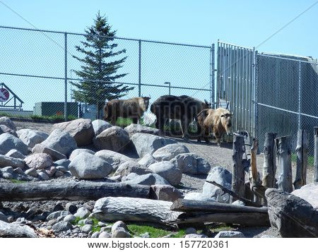 Three takin, also called cattle chamois or gnu goat, is a goat-antelope that found overseas.